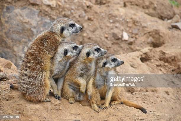 Meerkats Looking Away While On Rock