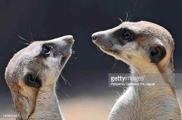 Meerkats looking each other