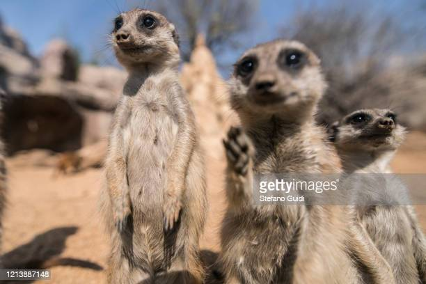 Meerkats on the zoo during coronavirus pandemic on March 21, 2020 in Turin, Italy. During the emergency of COVID-19 the zoo is closed but Zoo Keepers...