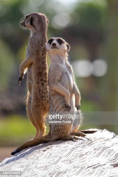 meerkats - mammifero foto e immagini stock