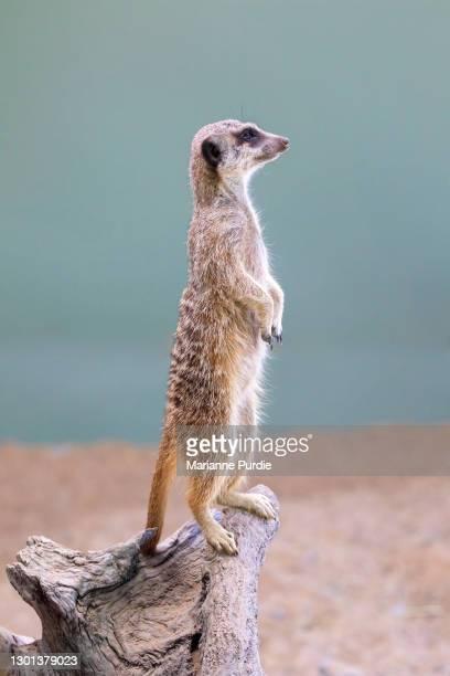 meerkats - herbivorous stock pictures, royalty-free photos & images