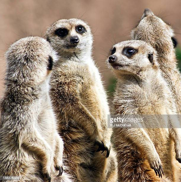 meerkats - melbourne zoo stock pictures, royalty-free photos & images