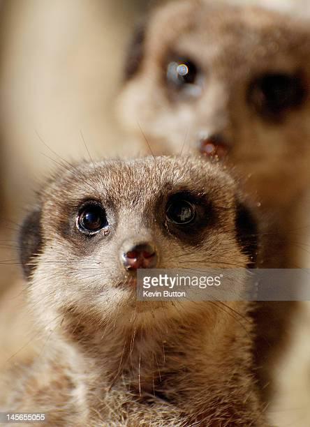 meerkats - meerkat stock pictures, royalty-free photos & images