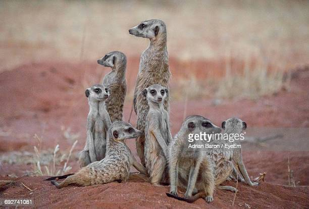 Meerkats Resting On Field