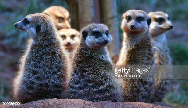 Meerkats sit under a lamp to warm up in their enclosure at the zoo in Erfurt eastern Germany on January 25 2018 / AFP PHOTO / dpa / Martin Schutt /...