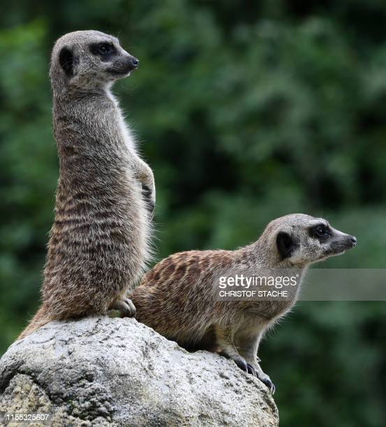 Meerkats stand together in their enclosure of the zoo Hellabrunn in Munich southern Germany on July 12 2019 Organisers of this year's Gay Pride week...