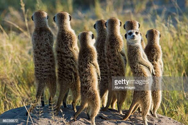 Meerkats standing in the sun
