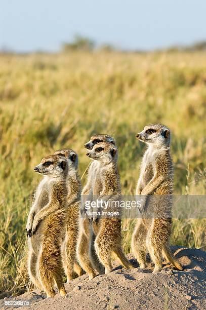 Meerkats standing in the sun