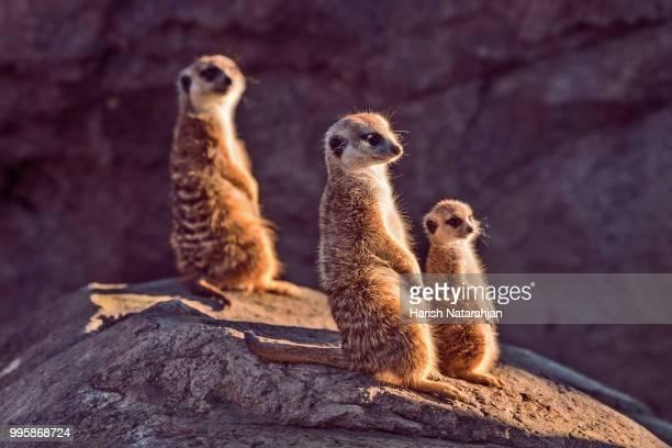 meerkats standing on a rock. - mangusta foto e immagini stock
