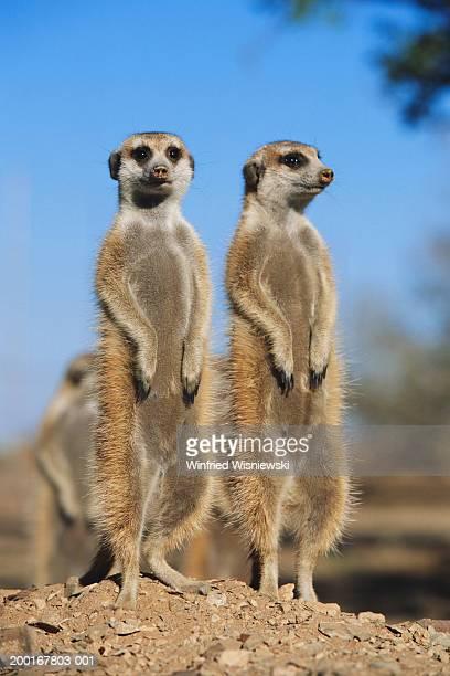 meerkats (suricata suricatta) standing on hind legs - ミーアキャット ストックフォトと画像