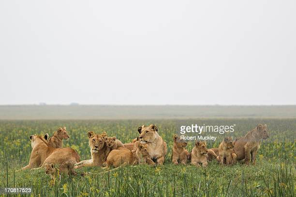 Meet The Family.....The Marsh Pride of Lions
