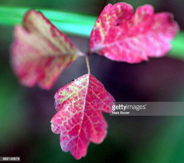 MEForestPoisonOak112895MB–––They may look like they belong in a holiday wreath or floral arrangement but be advised that despite their pretty red...