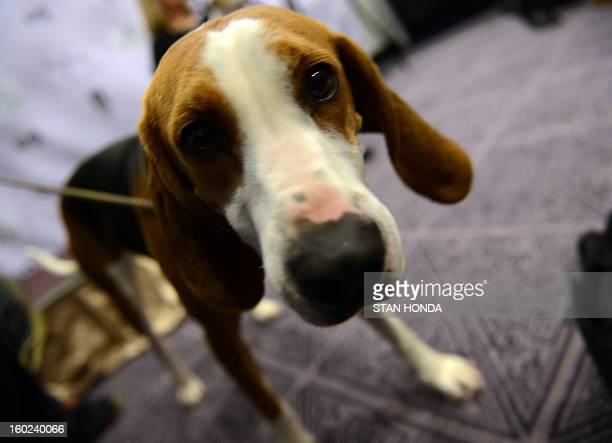 Meg a Treeing Walker Coonhound during a press conference January 28 2013 by The Westminster Kennel Club to introduce two new breeds that will compete...
