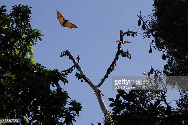 Megabats Megachiroptera family Pteropodidae are also called fruit bats flying foxes or Chiroptera Contrary to its name megabats are not always large...