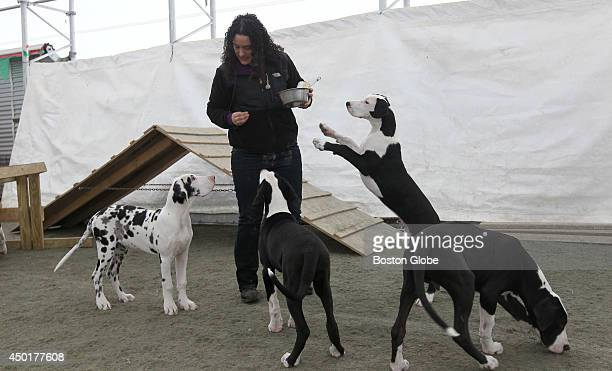Megan Kokaras dog trainer works with 3monthold Great Dane pups spoon feeding them so they learn their names patience the word wait and manners...