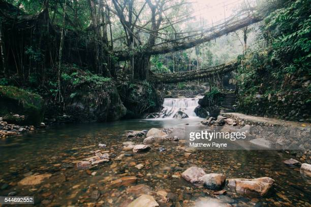 Meghalaya, India: Bridge made out of living tree roots in rainforest valley