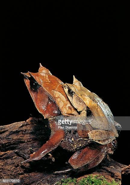 Megophrys nasuta (Malayan horned frog, long-nosed horned frog, Malayan leaf frog) - mating