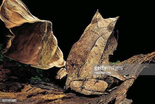 Megophrys nasuta (Malayan horned frog, long-nosed horned frog, Malayan leaf frog)