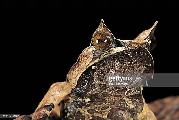 megophrys nasuta (malayan horned frog, long-nosed horned frog, malayan leaf frog) - horned frog stock photos and pictures