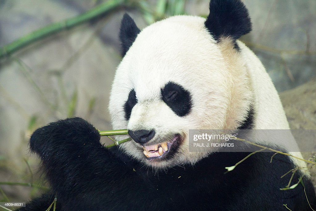 Mei Xiang, mother of recently born Bao Bao, eats a bamboo breakfast January 6, 2014, inside her glass enclosure at the Smithsonian's National Zoo in Washington, DC. Bao Bao made her press debut today and will soon be presented for public viewing. AFP Photo/Paul J. Richards