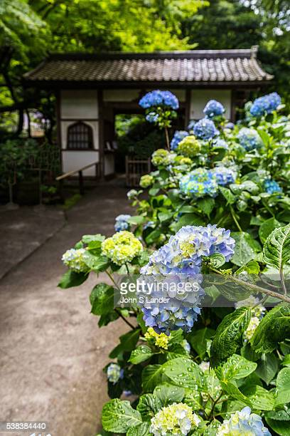 Meigetsuin Hydrangea Garden Meigetsuin also known as Ajisaidera or Hydrangea Temple since many Hime Ajisai Princess Hydrangea are planted on the...