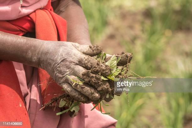 Meki Batu Ethiopia Female worker weeding onion fields at the Fruit and Vegetable Growers Cooperative in Meki Batu
