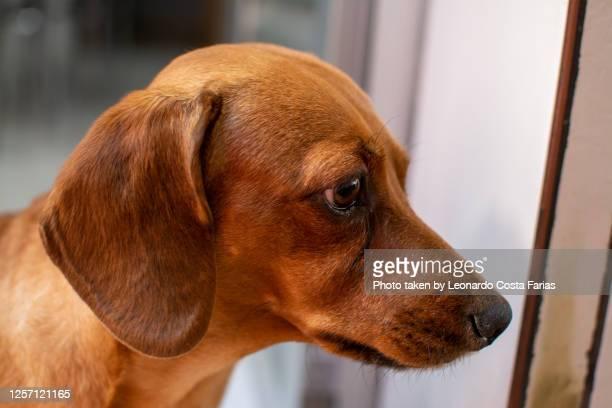 mel, the dachshund - leonardo costa farias - fotografias e filmes do acervo