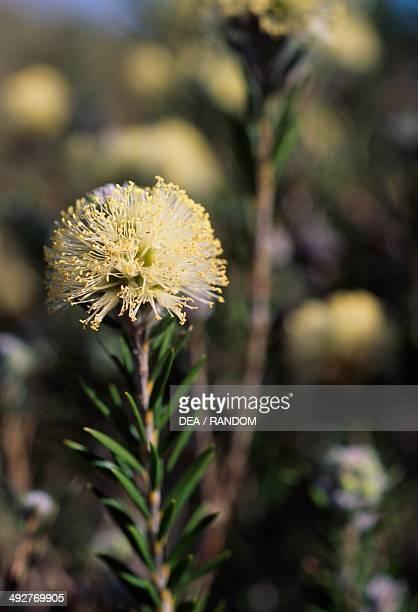 Melaleuca capitata flower Myrtaceae
