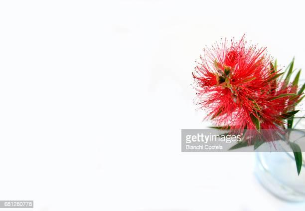 Melaleuca citrina flower on white background