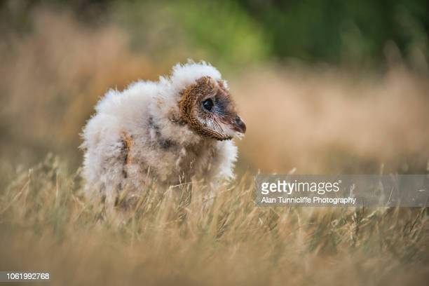 melanistic barn owl chick - barn owl stock pictures, royalty-free photos & images