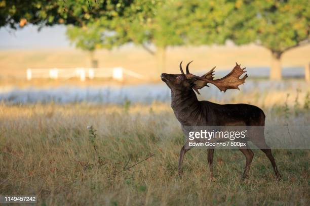a melanistic fallow deer showing off his antlers - 休耕田 ストックフォトと画像