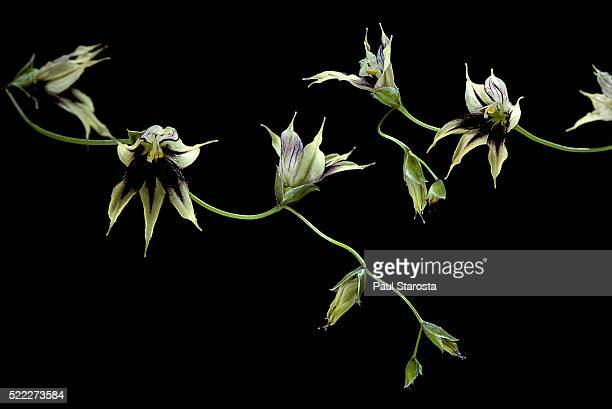 Melasphaerula ramosa (fairy bells)