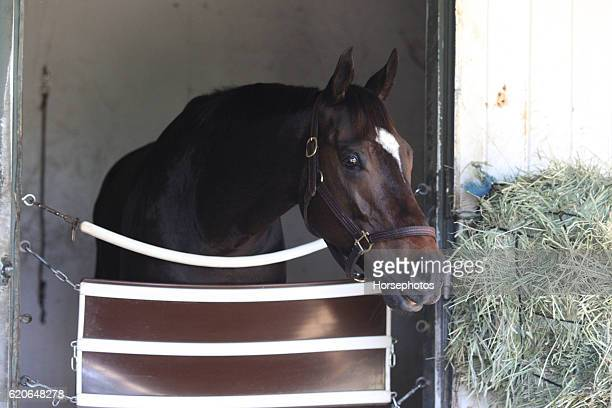 Melatonin in his stall waiting for the Breeders' Cup Classic at the Santa Anita Race Track on November 2 2016 in Arcadia California