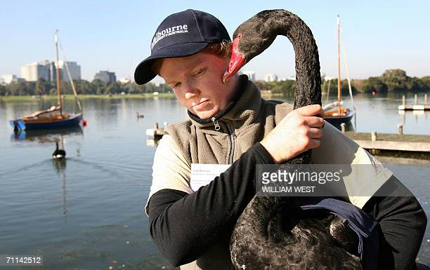 A swan is captured as researcher Julie McInnes carries out tests at Melbourne's Albert Park Lake 07 June 2006 as swans who have long been viewed as a...