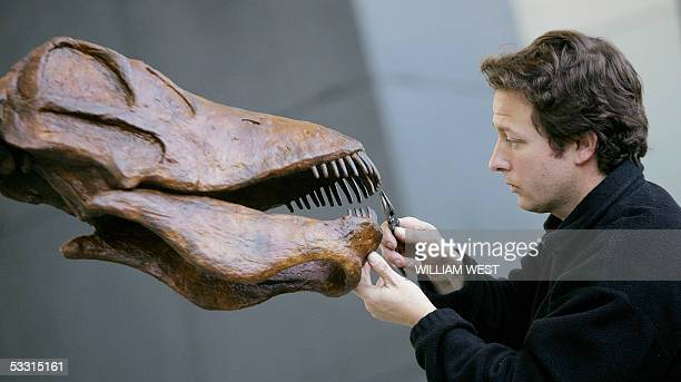 Dean Smith a senior preparator at the Melbourne Museum puts the final touches to the teeth of a Amargasaurus dinosaur the largest herbivore dinosaur...
