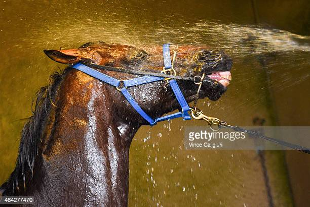 Melbourne Cup winner Protectionist enjoys a wash down after a trackwork session at Caulfield Racecourse on February 24 2015 in Melbourne Australia