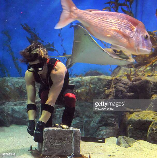 Melbourne escape artist 'Cosentino' is surrounded by sharks, stingrays and fish as he attempts to free himself after being handcuffed and shackled to...