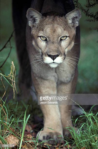 a mesmerising glare of a stalking puma hunting prey - puma stock photos and pictures