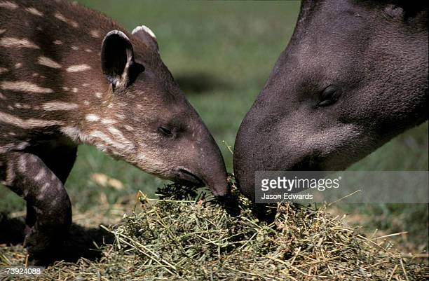 Mother and infant Brazilian Tapirs feeding on dry lucerne grass.