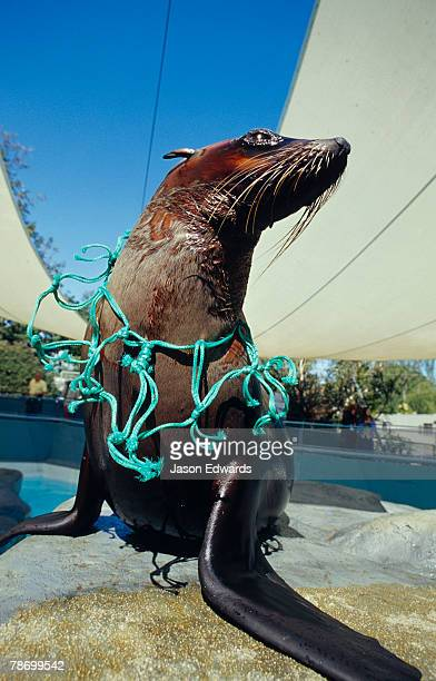 An Australian Fur Seal with fishing net litter constricting its neck.