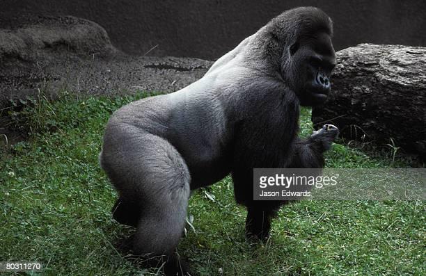 a powerful male silverback western lowland gorilla. - gorila lomo plateado fotografías e imágenes de stock