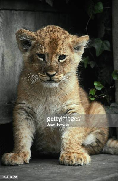 an eight week old african lion cub will grow into a fierce predator. - lion cub stock photos and pictures