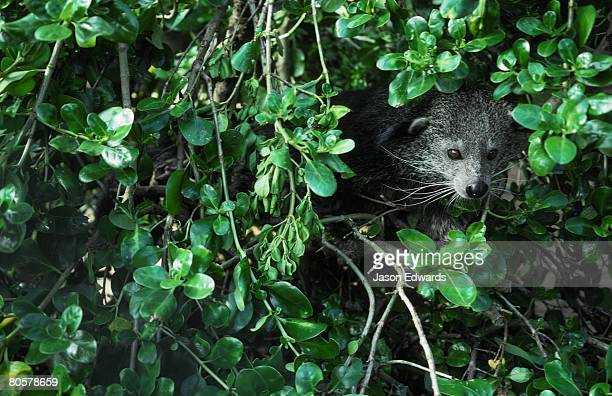 a rare nocturnal bintourong emerges from dense shrub. - civet cat stock photos and pictures