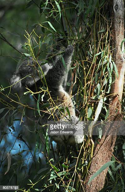A feeding Koala stretches out for Eucalypt Gum leaves it's only food.