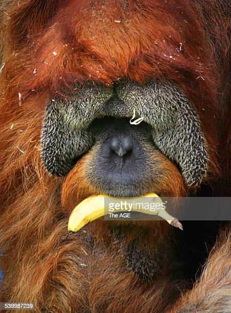 Melbourne Zoo where orangutans eat bananas donated by a Queensland grower THE AGE picture by CRAIG SILLITOE