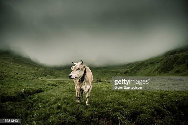 Melchsee-Frutt  cow