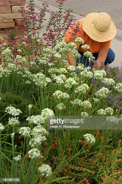 FE31LOVEGROW LOVELAND CO 09/04/07 ABOVE Melissa Grant is pictured working in her lovely garden surrounded by white Alium Helen H Richardson/The...