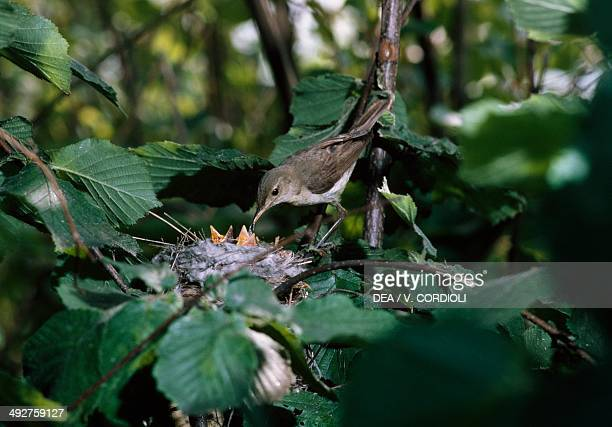 Melodious warbler feeding its chicks at nest , Acrocephalidae.