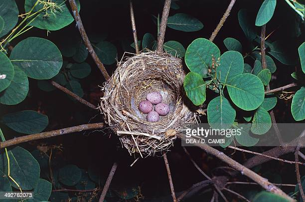 Melodious warbler nest with eggs , Acrocephalidae.