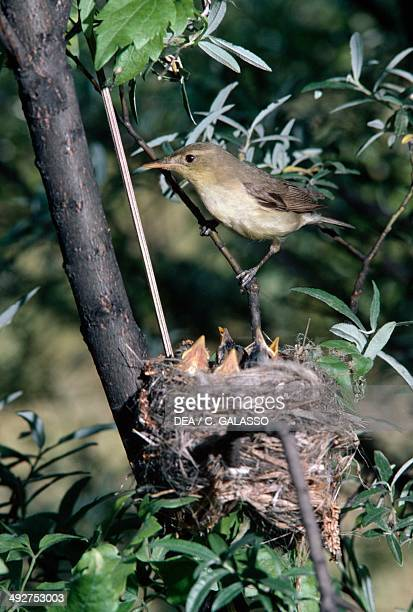 Melodious warbler with its chicks at nest , Acrocephalidae.
